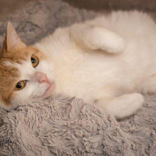 Kiya - Domestic Short Hair Cat