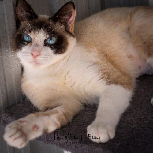 Annaliese - Snowshoe Cat