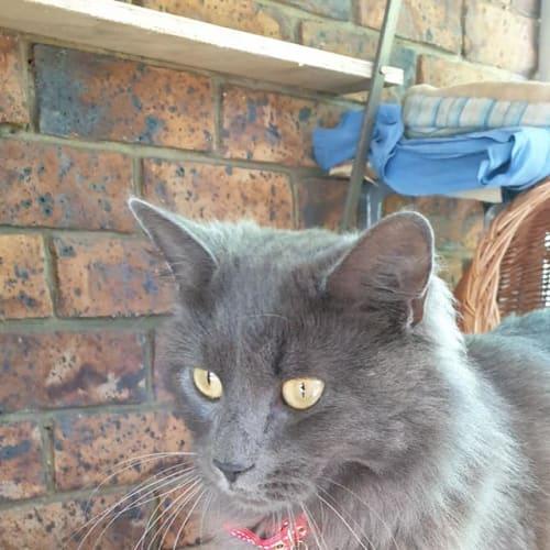 Astrid - Ragdoll Cat