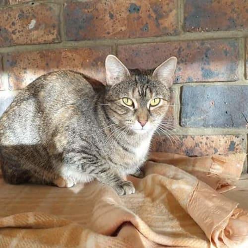 Pixi - Domestic Short Hair Cat