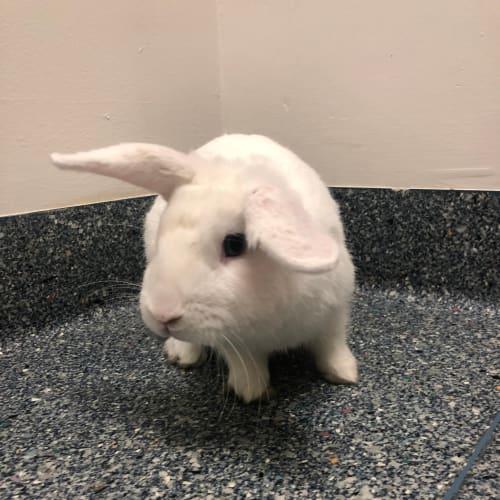 Jon Snow - Lop Eared Rabbit
