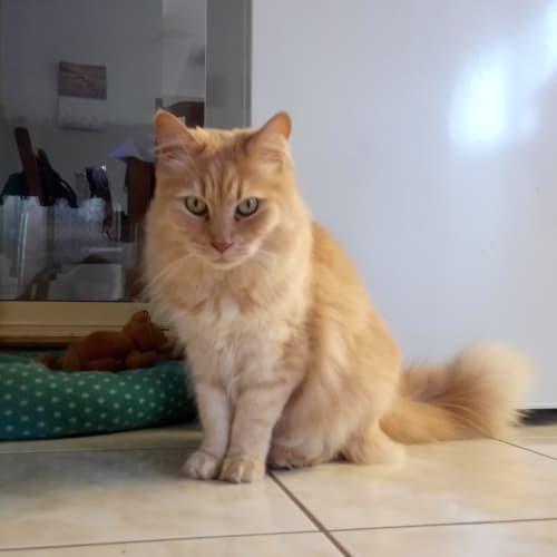 C581Ravi - Ragdoll Cat
