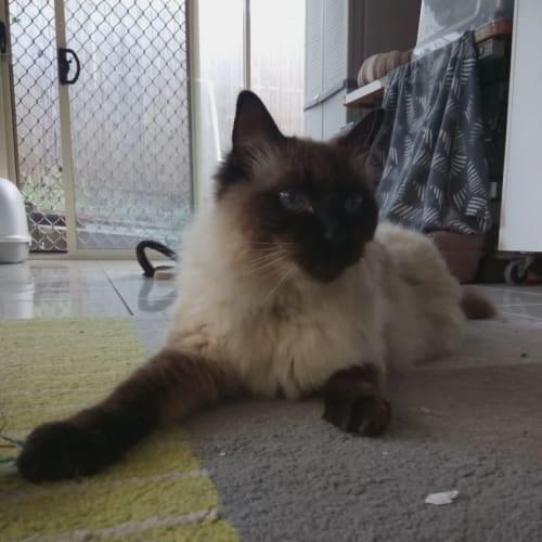 C582 - Ragdoll Cat