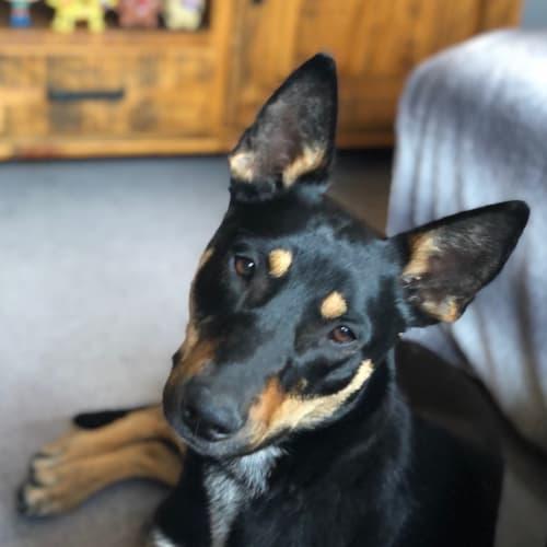 Daffy  - Kelpie Dog