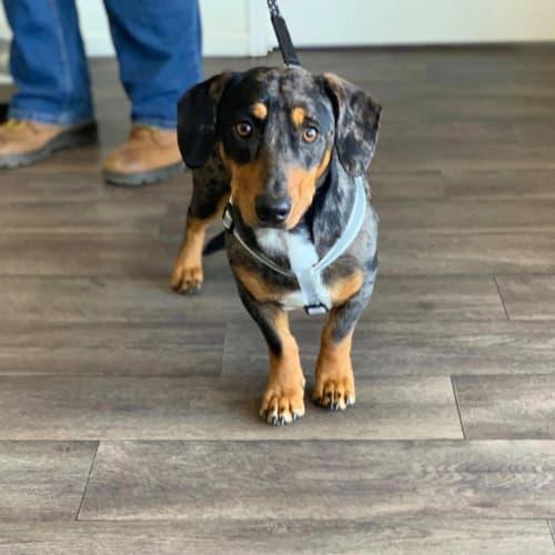 Louie - Dachshund Dog