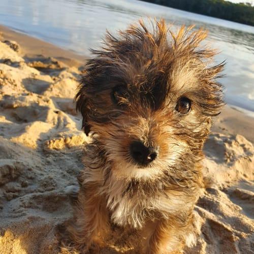 Rachel - Maltese Dog