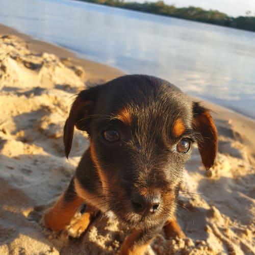 Monica - Maltese Dog