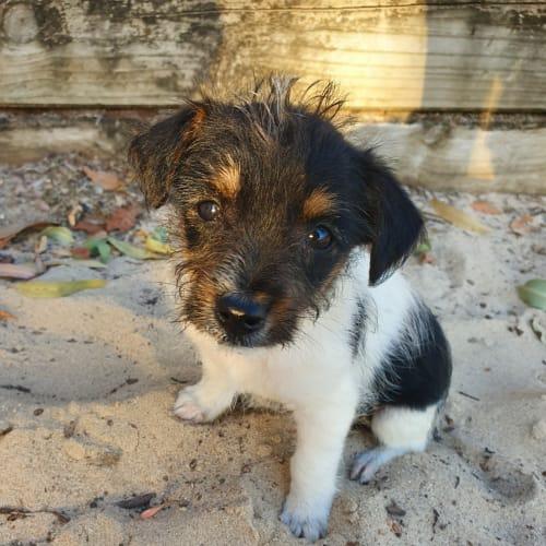 Ross - Maltese Dog