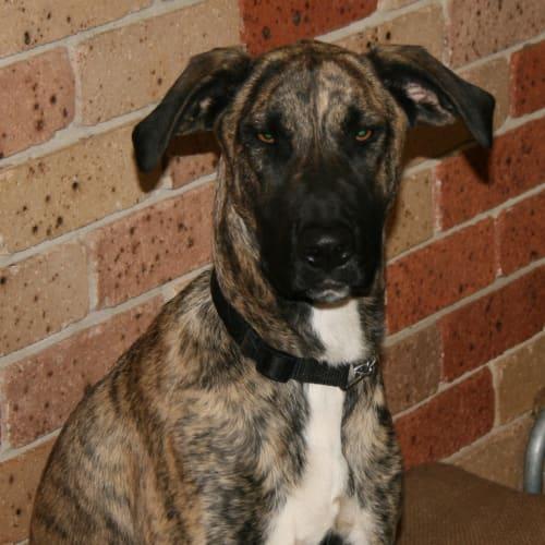 Kira - Irish Wolfhound Dog
