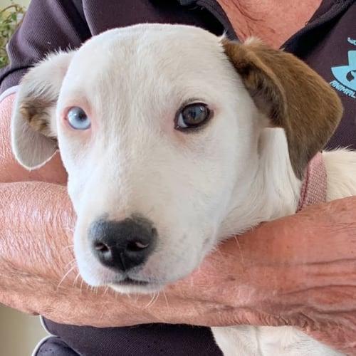 Pip - Border Collie Dog