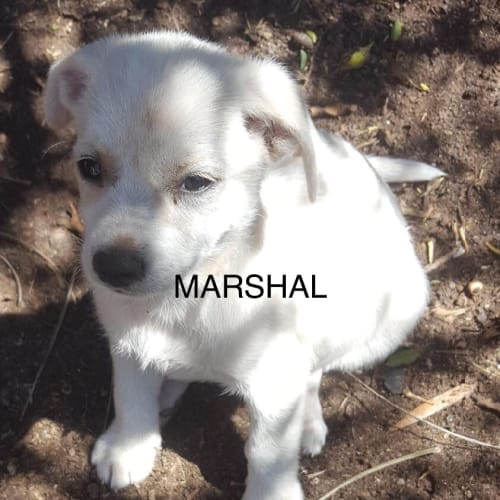 Marshal - Maltese Dog