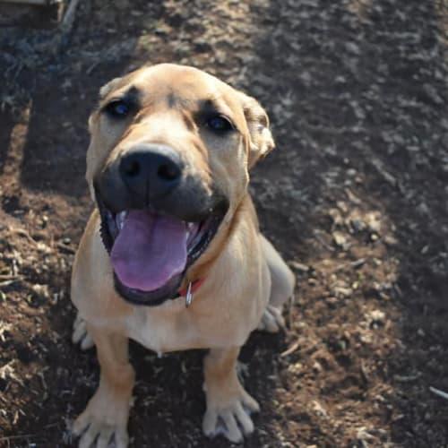 Ralph - Mastiff Dog