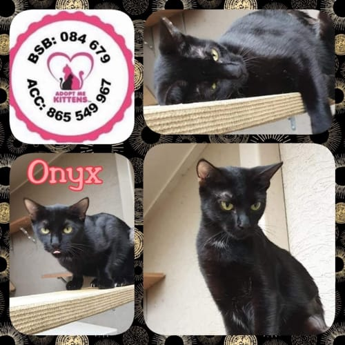 Onyx - Domestic Short Hair Cat