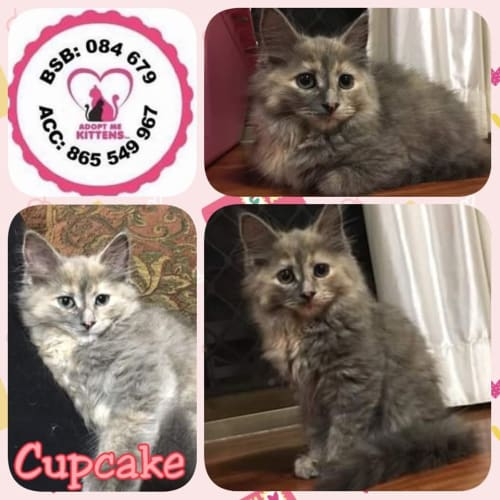 Cupcake - Domestic Long Hair Cat