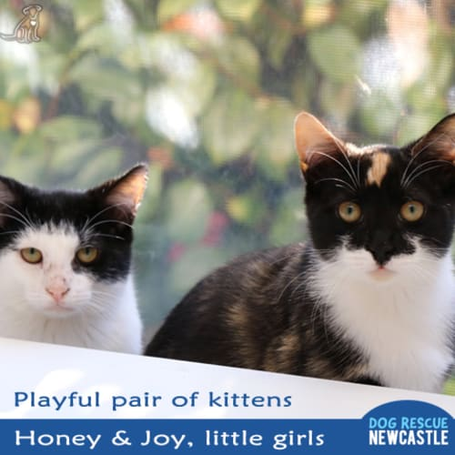 Honey and Joy ~ pair of female kittens - Domestic Short Hair Cat