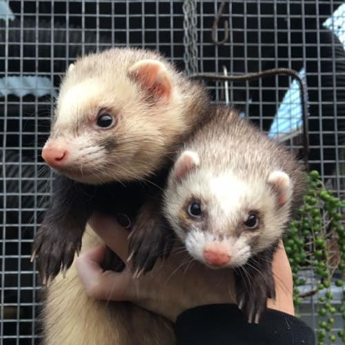 Bella & Mouse -  Ferret