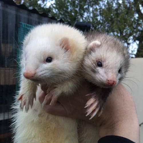 Nora & Harper  -  Ferret