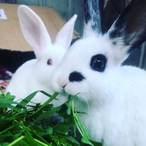 Alice & Elizabeth Taylor - New Zealand White x Dwarf Rabbit