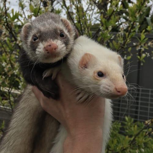 Yoshi & Ruby  -  Ferret