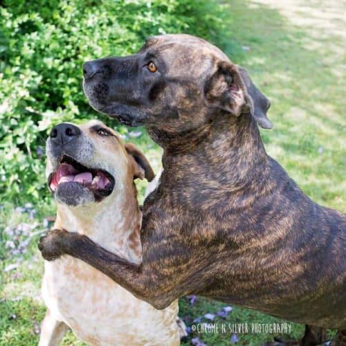 Benson & Tilly - Great Dane x Mastiff Dog