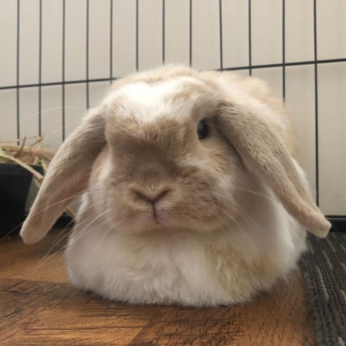 Kingsley - Dwarf lop Rabbit