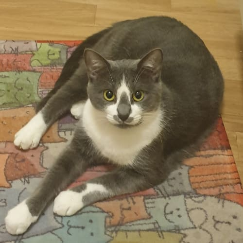 172 - Mali - Domestic Short Hair Cat