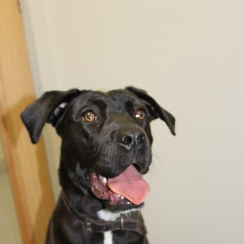 Mozzarella - Labrador Dog