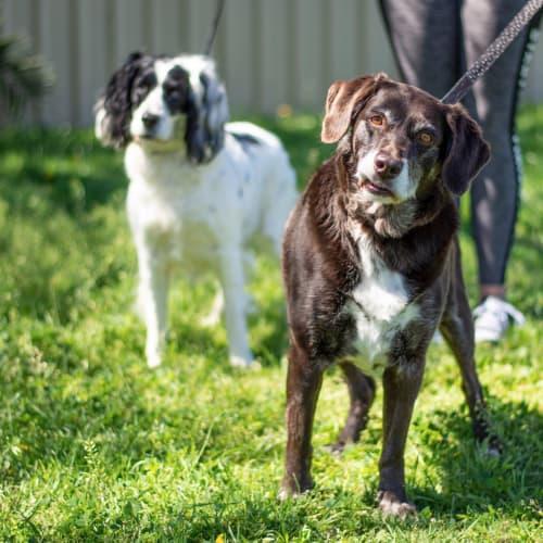 Bella & Rosie  - Cocker Spaniel x Labrador Dog