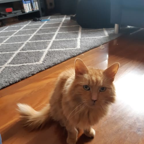 Garfield - Located in Preston - Domestic Medium Hair Cat