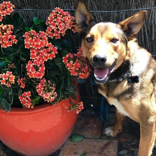 Colin - Kelpie Dog