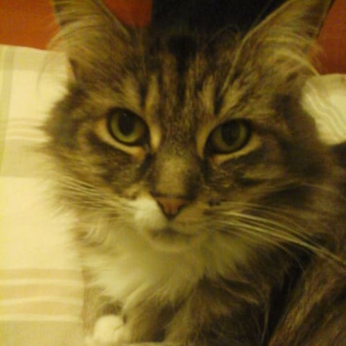 Clawdee Dunlop (Located in Cheltenham) - Domestic Medium Hair Cat