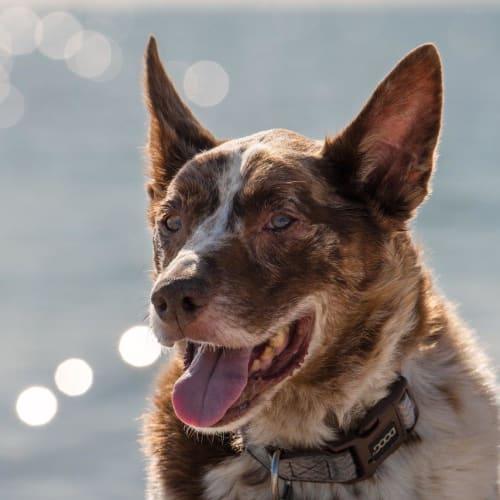 Baggins Pickersgill - Koolie Dog