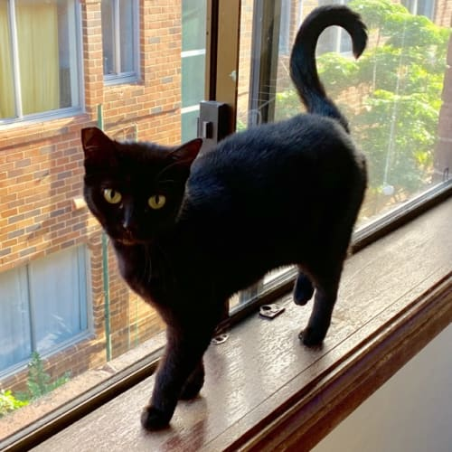 Dahlia - Domestic Short Hair Cat