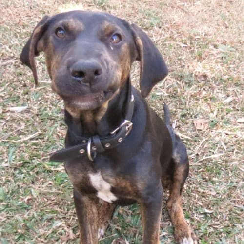 Scout - Kelpie x Bull Arab Dog