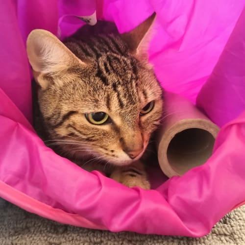 Panini - Domestic Short Hair Cat