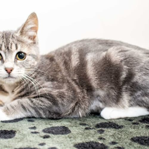 1297 - Beetle - Domestic Short Hair Cat