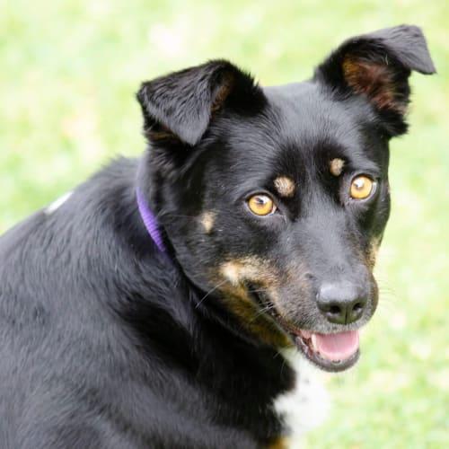 Indie - Rottweiler Dog