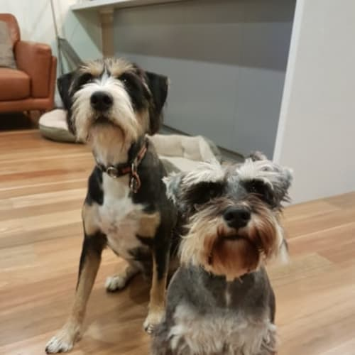 Rollo and Reggie ** NO more calls ** - Schnauzer Dog