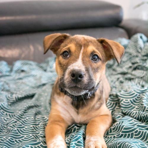 Mickey  - Kelpie x Australian Cattle Dog x Blue Heeler Dog