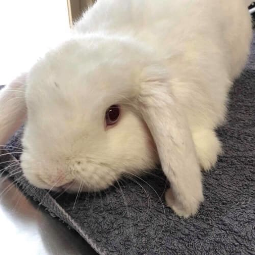 Monty - Dwarf lop Rabbit