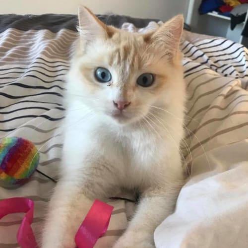 Benny - Ragdoll Cat