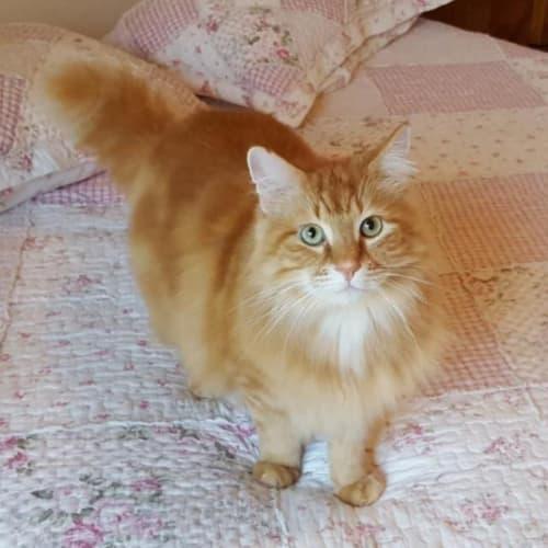 Hulk - Domestic Medium Hair Cat