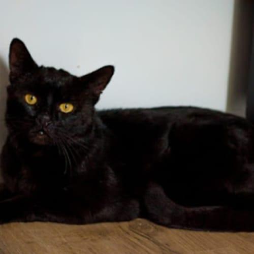 1374 - Major - Domestic Short Hair Cat
