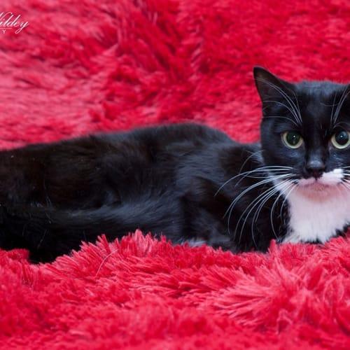 1324 – Lady Purr-dita - Domestic Short Hair Cat