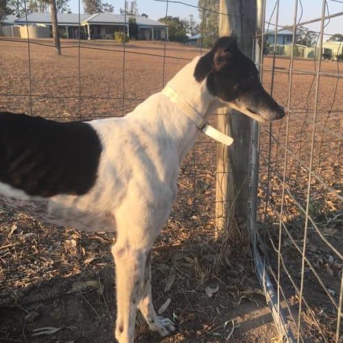 Zeus  - Greyhound Dog