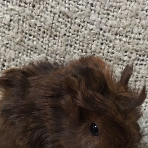 Curly Dash ( pup of possum) - Abyssinian Guinea Pig