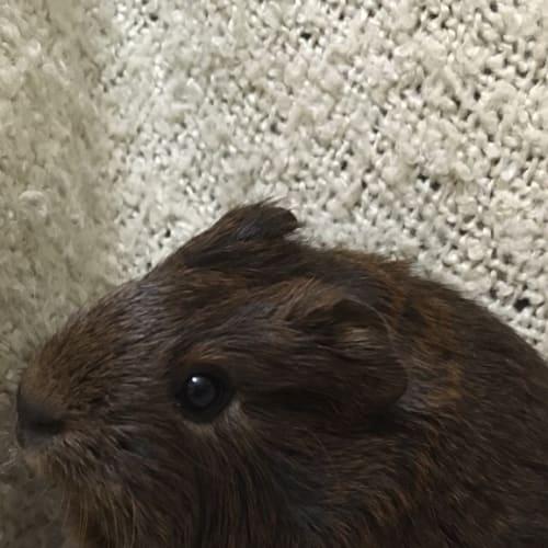 Dazzle (pup of possum) -  Guinea Pig