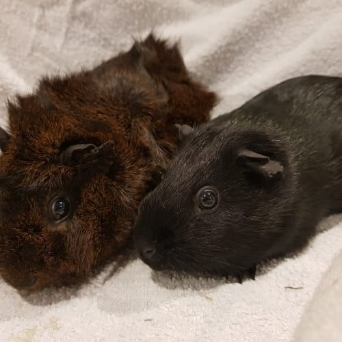 Pepper and Chubby - Smooth Hair Guinea Pig