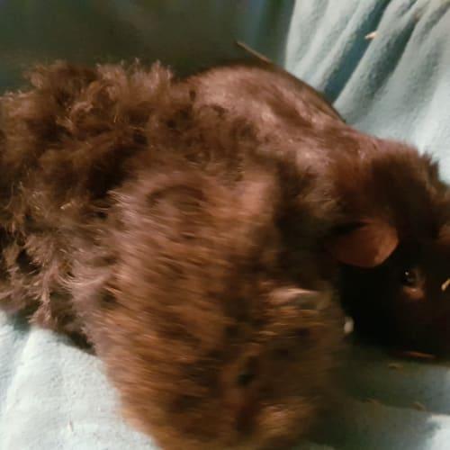 Milo and Fudge -  Guinea Pig