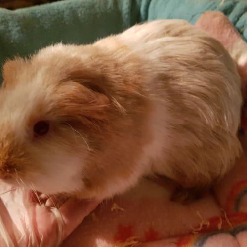 Izzy -  Guinea Pig